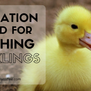 Hatching Ducklings at Home – Our Method for High Hatch Rates