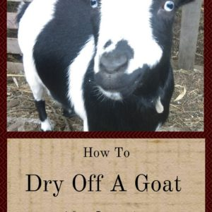 How To Dry Off A Goat After Lactation
