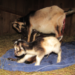 Baby Goats Just Born One Hour Ago ~ A Tutorial On What To Do (With Pictures)