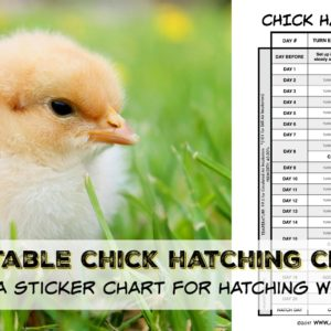 Hatching Chicks With Small Children