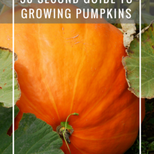 Quick and Dirty Cheat Sheet to Growing Pumpkins
