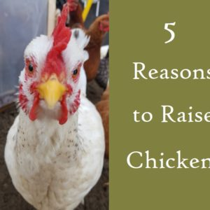 5 Reasons to Raise Chickens