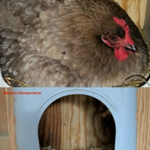How  to keep your chickens from sleeping in the nest boxes