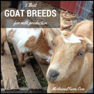 Top 5 Dairy Goat Breeds