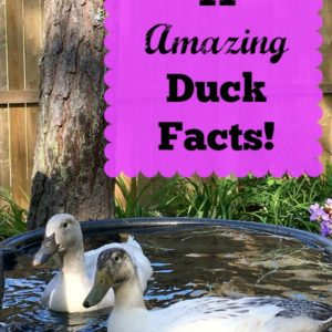 11 Amazing Duck Facts