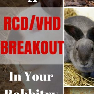 Preventing an outbreak of rabbit calicivirus in your rabbitry