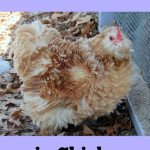Mites & Lice in Chickens
