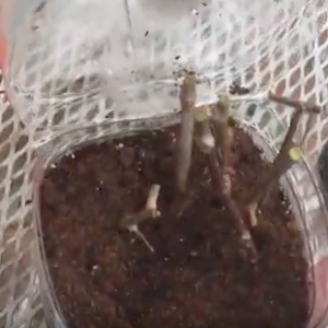 Propagating/Rooting Grapes and Muscadines