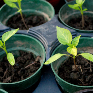 6 Seedlings that you Should Plant Inside
