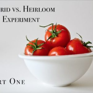 Heirloom vs. Hybrid Experiment- Germination