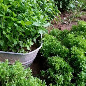 Why you need to grow mint in a container