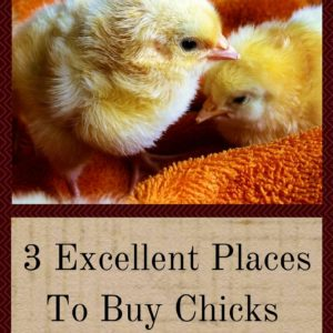 3 Excellent Places To Buy Chicks For A Healthy Flock