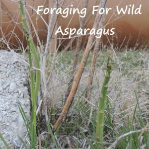 Wild Asparagus:  Early Spring Foraging