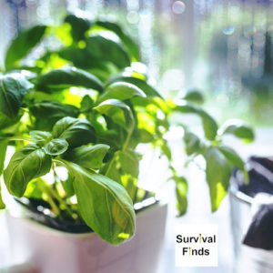 Basil, First Herb I Plant