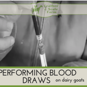 Performing Blood Draws on Dairy Goats