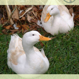 Great Backyard Duck Breeds
