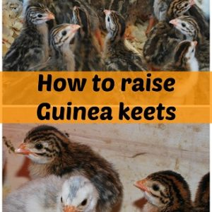 How to raise guinea keets