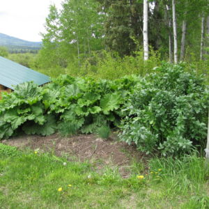 Growing Rhubarb – One of the Best Northern Perennials!
