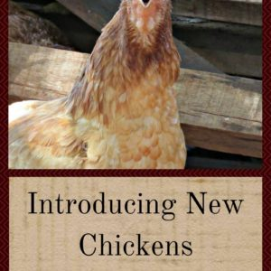 Introducing New Chickens Without Causing a Bloodbath