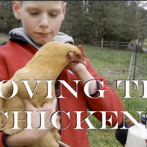 These Chickens are better than a Tractor!