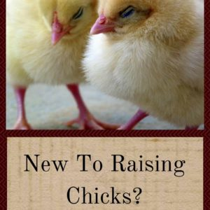 New To Raising Chicks?  Give Them The Best Care