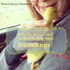 How to Bring Home Ducklings and Add Them to Your Flock