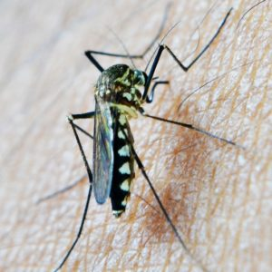 Why Mosquitoes Pick On Particular People