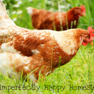Improving the Health of Chickens Naturally