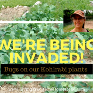 We're Being Invaded!  Bugs on the Kohlrabi