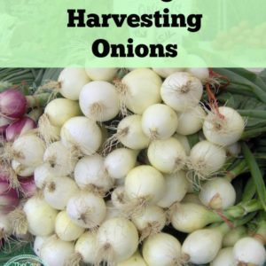 Growing & Harvesting Onions