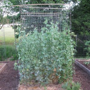 INCREASING OUR PEA PRODUCTION