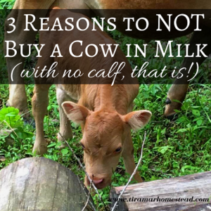 3 Reasons to NOT Buy a Cow in Milk (with no calf, that is)