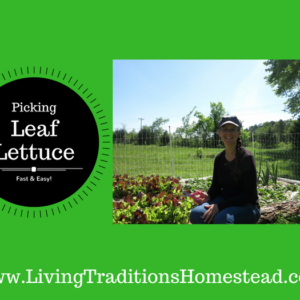 How to Pick Leaf Lettuce