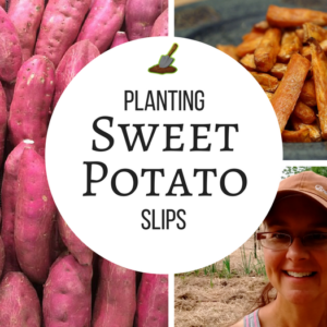 How to Plant Sweet Potato Slips