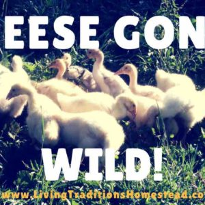 Geese Gone Wild- A Gosling Update