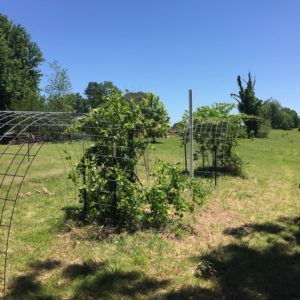 Grape Arbors from Cattle Panels