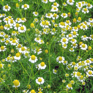 Growing Chamomile in Your Garden