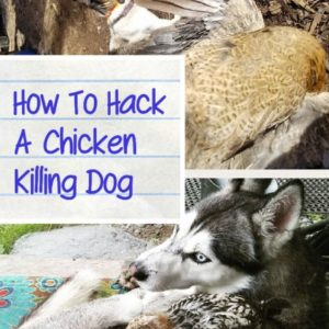How To Hack A Chicken Killing Dog