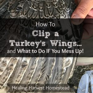How to Clip a Turkey's Wings…And What to Do If You Mess Up