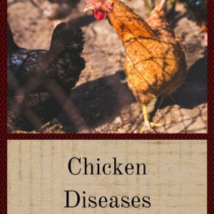 Chicken Diseases You Need To Know About