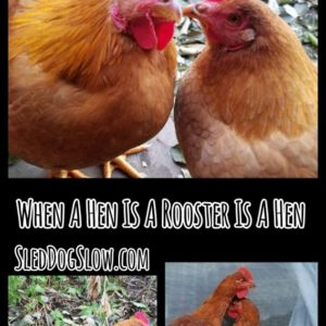 When A Hen Is A Rooster Is A Hen