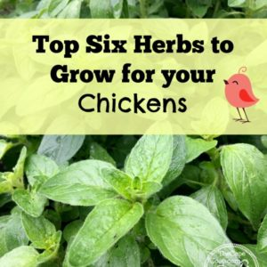 Top 6 Herbs to Grow for your Chickens