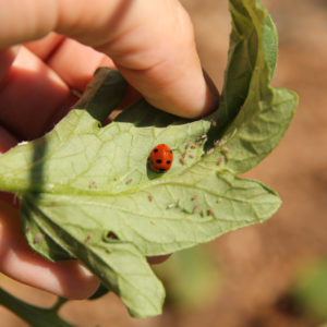 Nine All Natural Ways to Kill Aphids