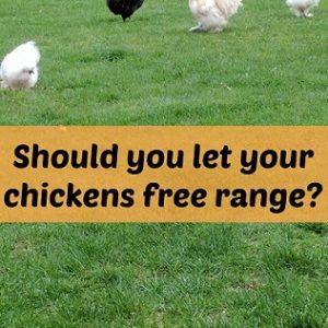 Should chickens free range