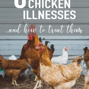 8 Common Chicken Illnesses & How To Treat Them