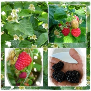 Brambles:  Growing Blackberries and Raspberries