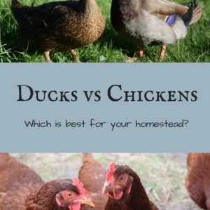 Ducks vs Chickens