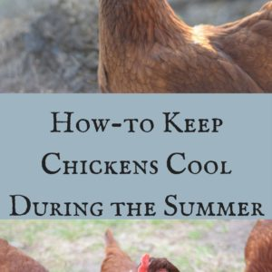 Keeping Chickens Cool During the Summer
