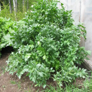Growing Lovage in Your Herb Garden