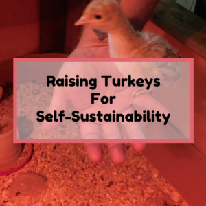 Raising Bourbon Red Turkeys For Self-Sustainability